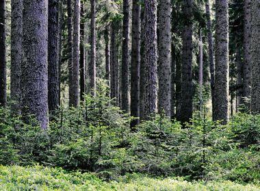 Gepflegter Wald